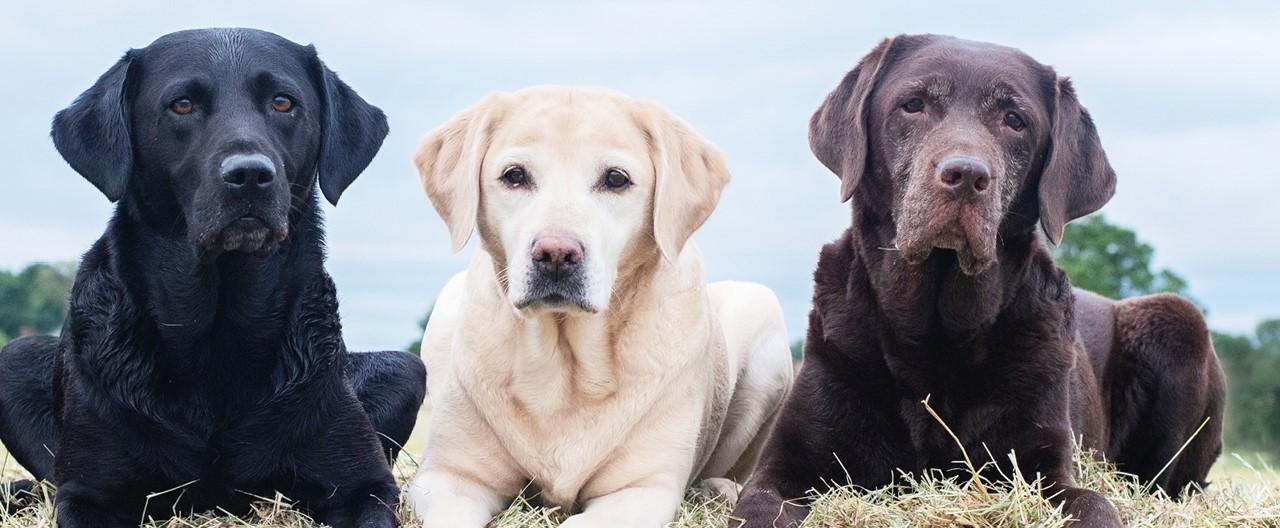 Labrador Retriever: Ein ausgeglichener Allrounder