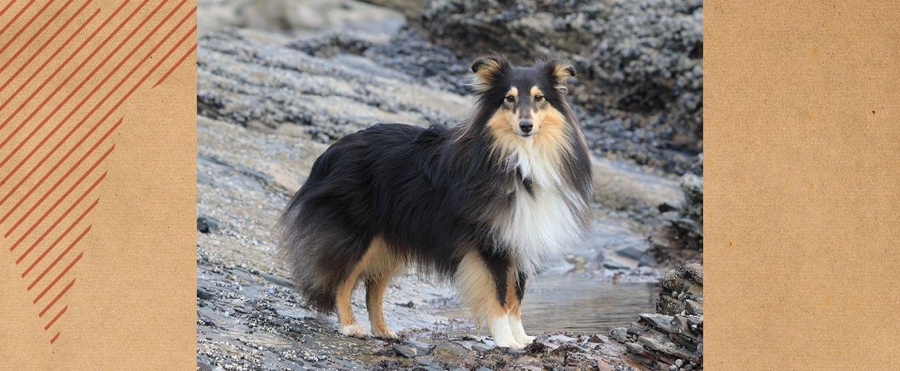 THE-GOODSTUFF_Rasseportrait-Shetland-Sheepdog