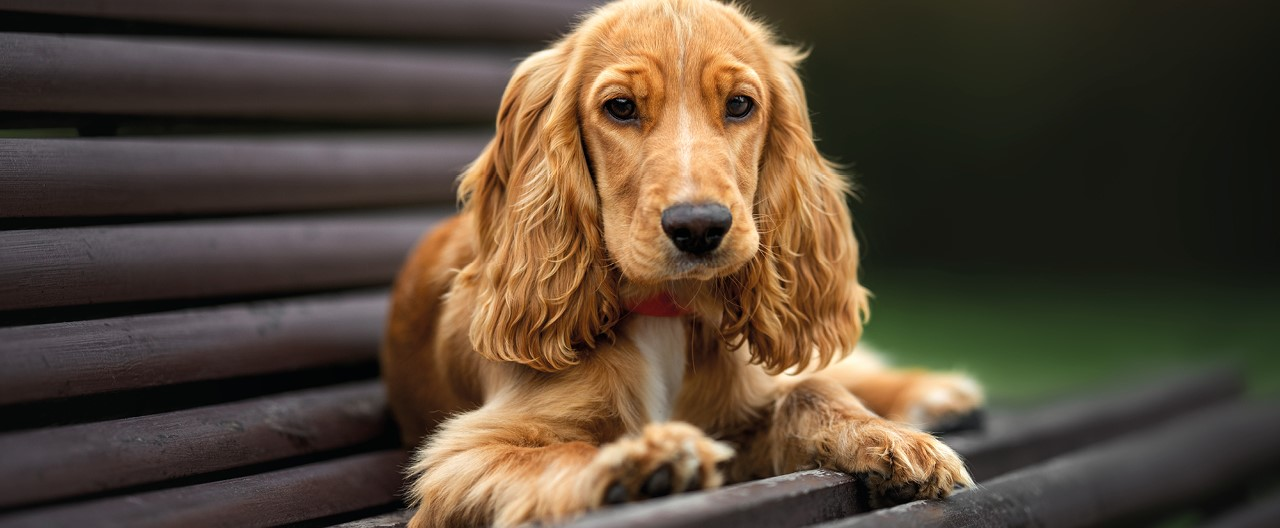 English Cocker Spaniel: Familienhund mit Jäger-Herz