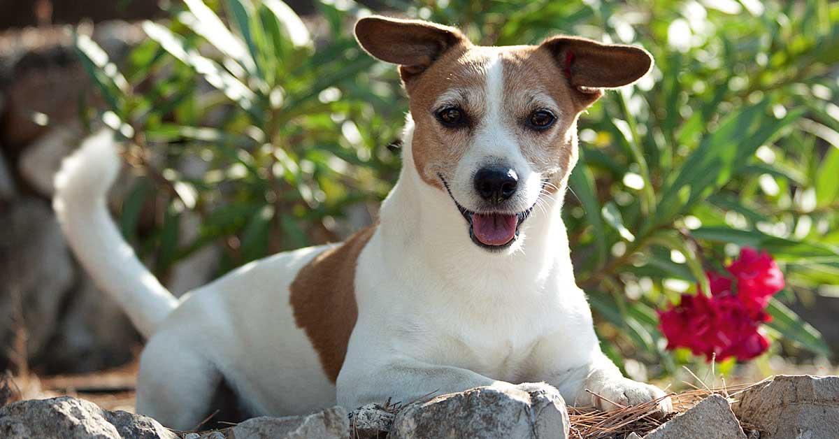 Der Jack Russell Terrier – selbstbewusstes Powerpaket