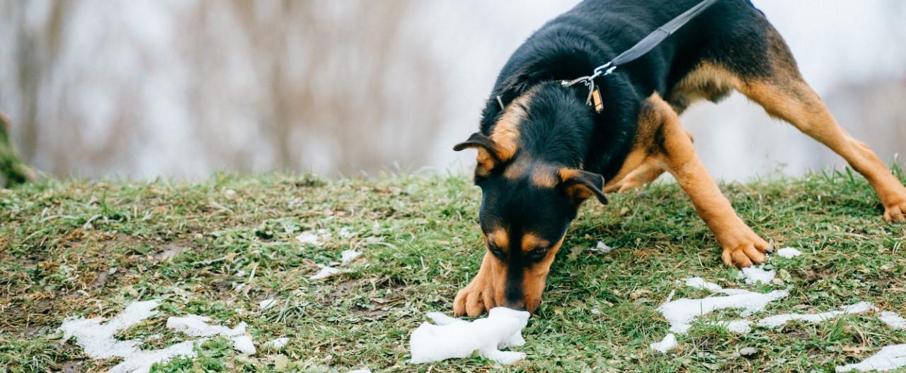 Hunde in Bewegung: Mantrailing und Fährtensuche