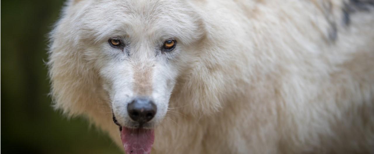 Die Wölfe & Hunde vom WSC: Nanuk