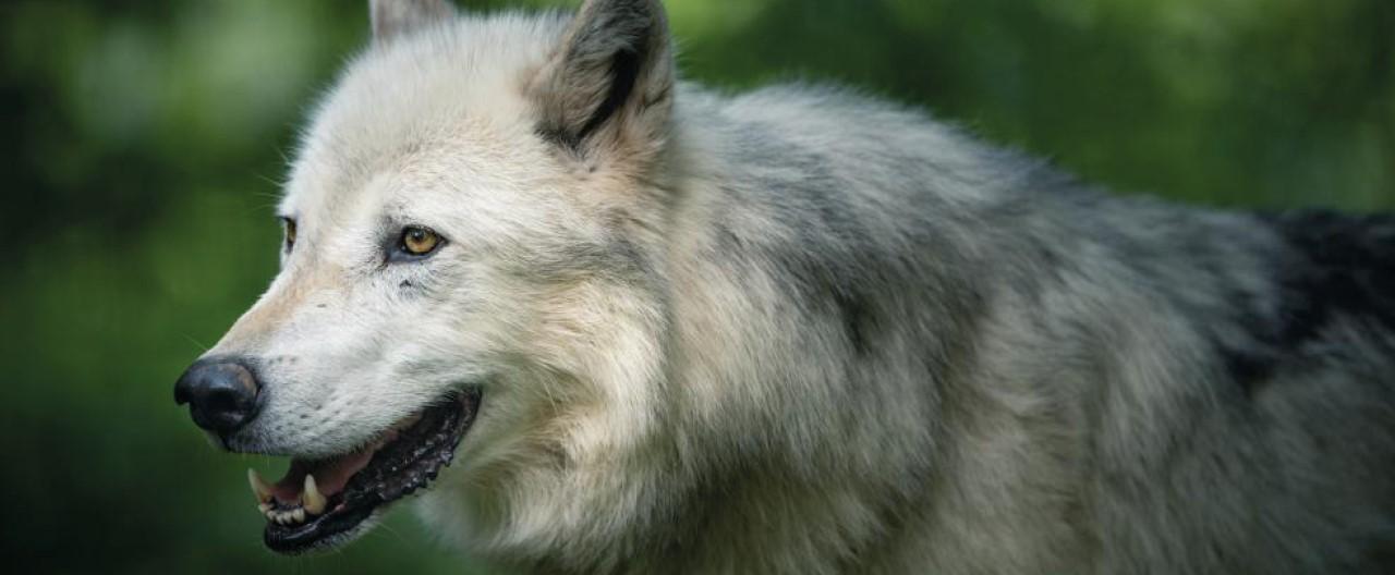 Die Wölfe & Hunde vom WSC: Geronimo
