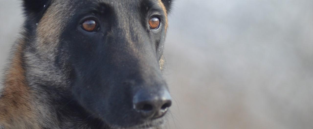 Der Polizeihund: Tierischer Begleiter auf Streife