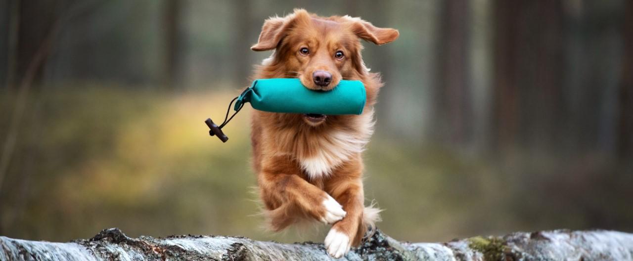 Hunde in Bewegung: Dummytraining
