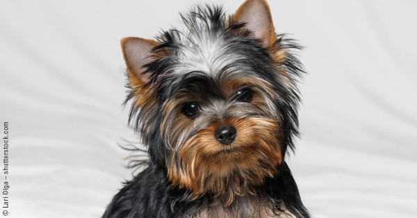 87_FB_AAD_Yorkshire-Terrier_1200x628