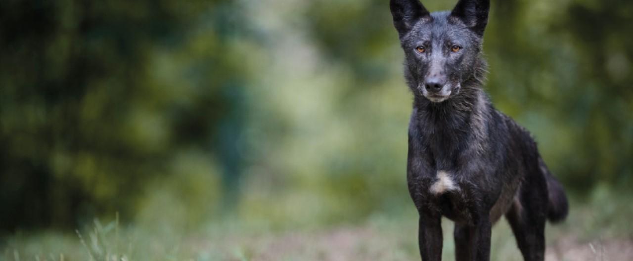 Die Wölfe & Hunde vom WSC: Taima