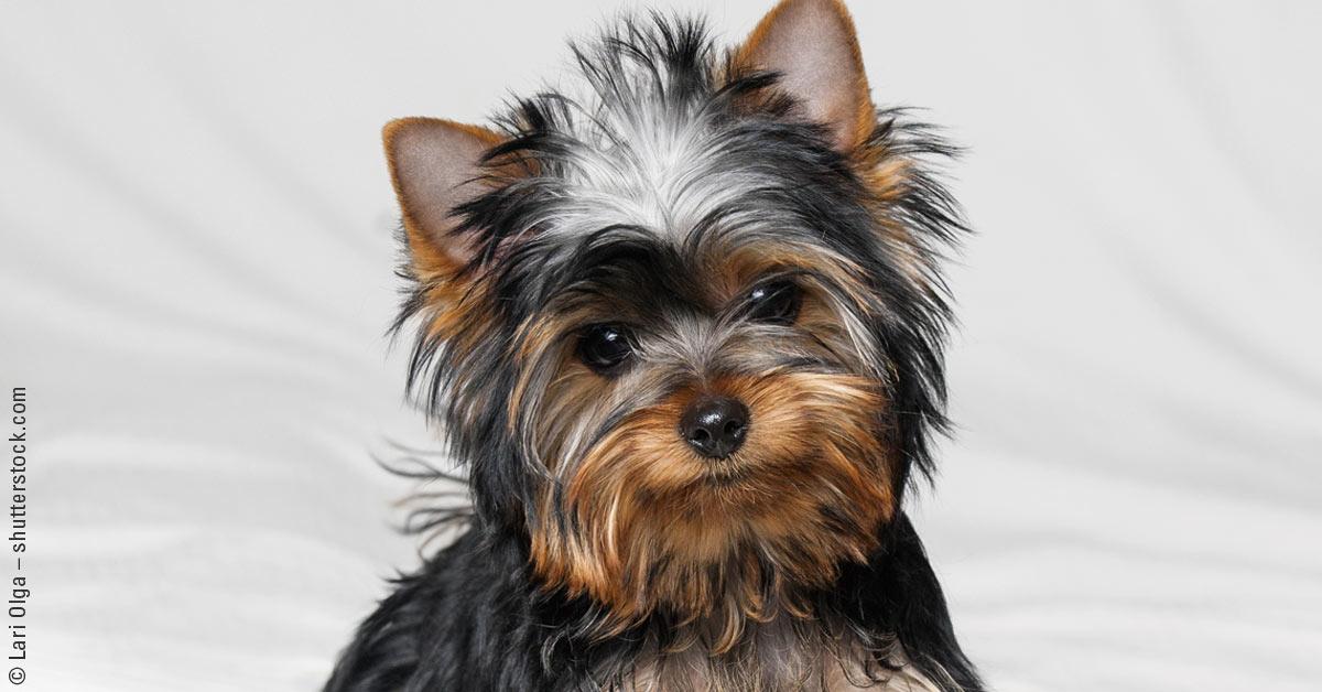 Der Yorkshire Terrier – ein aufmerksames Energiebündel
