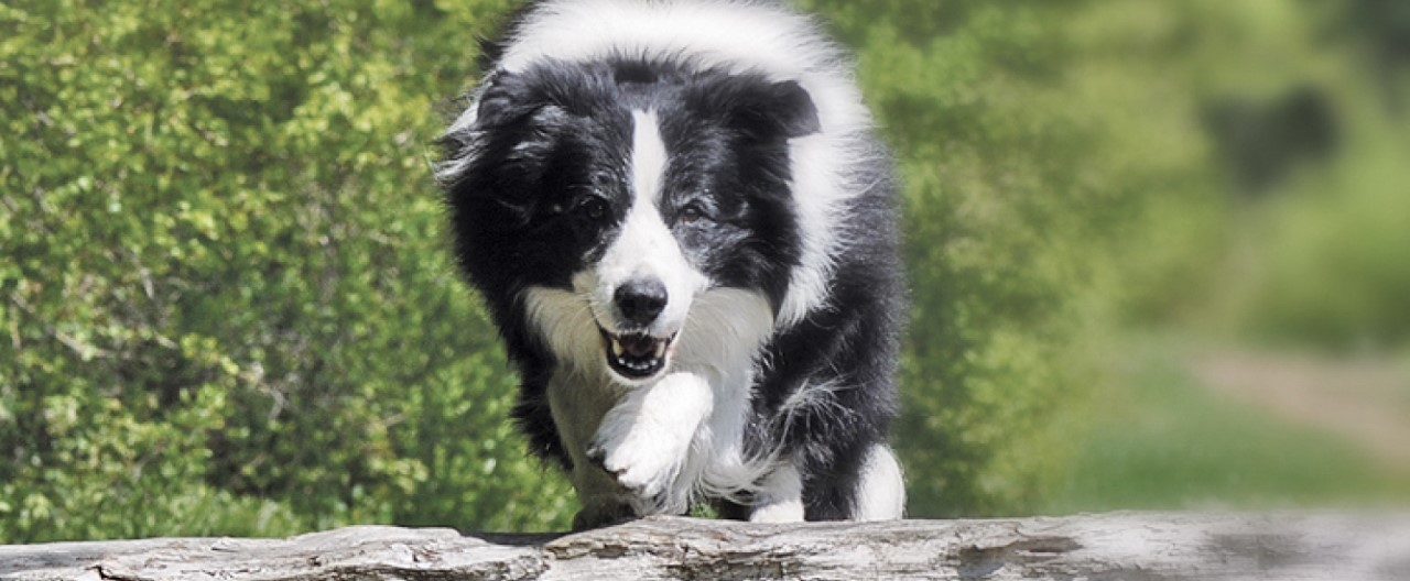THE-GOODSTUFF_Rasseportrait-Border-Collie