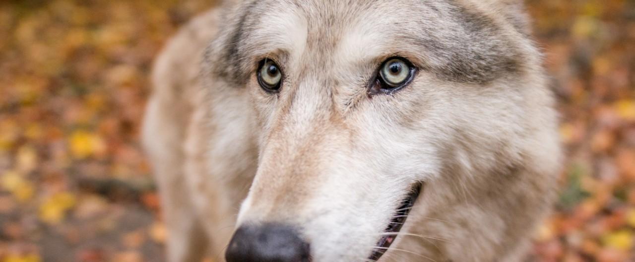 Die Wölfe & Hunde vom WSC: Chitto