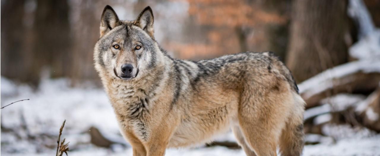 Die Wölfe & Hunde vom WSC: Maikan