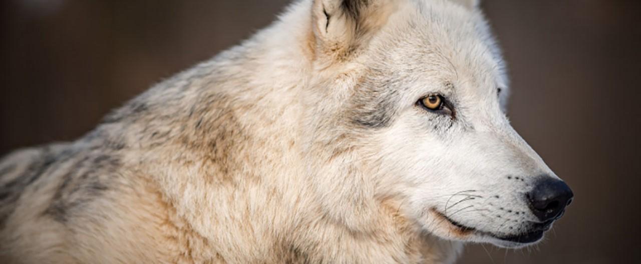 Die Wölfe & Hunde vom WSC: Amarok