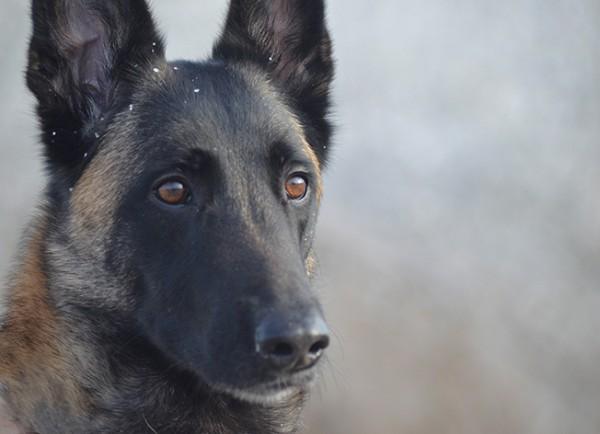 Polizeihund_72dpi