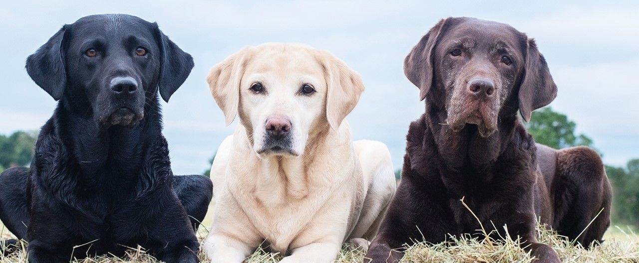 THE-GOODSTSTUFF_Rasseportrat_Labrador