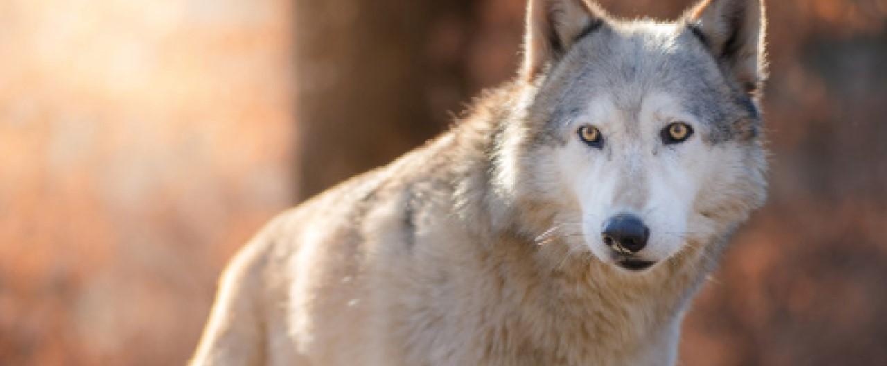 Die Wölfe & Hunde vom WSC: Tala