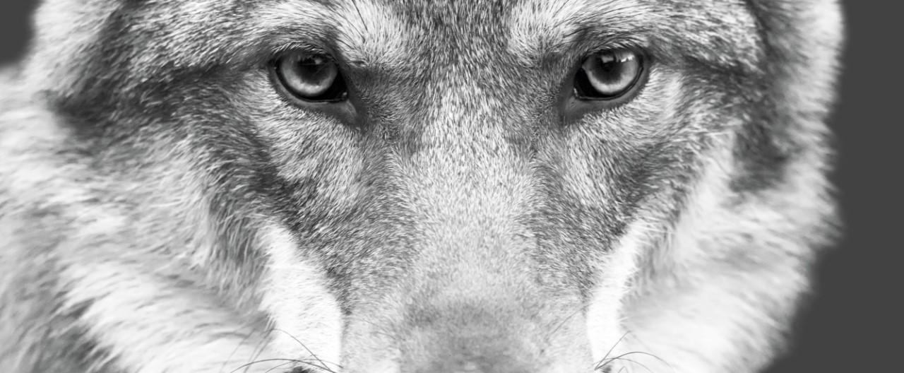 Wolf und Hund – wie ähnlich sind sie sich wirklich?