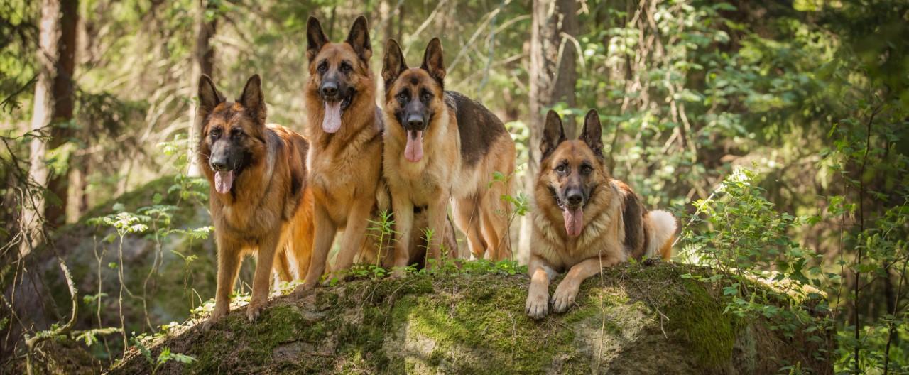Eine der beliebtesten Hunderassen weltweit: Der Deutsche Schäferhund