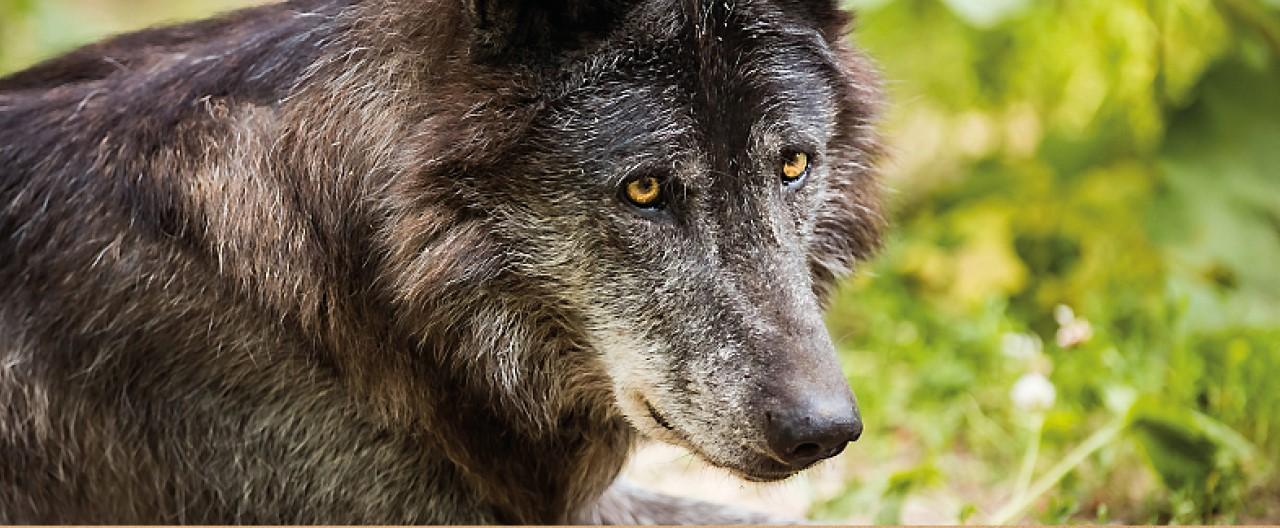 Die Wölfe & Hunde vom WSC: Kaspar