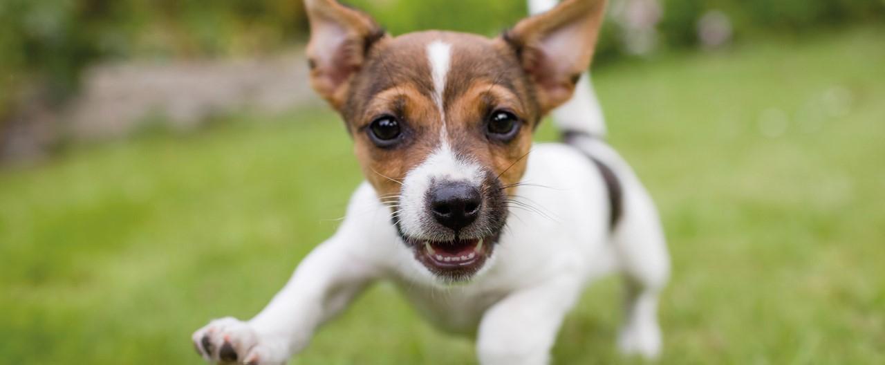 Welpen und ihre Ernährung: So gelingt die Hundefutterumstellung bei Welpen