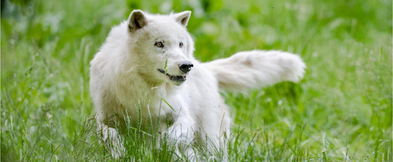 Die Wölfe & Hunde vom WSC: Kenai